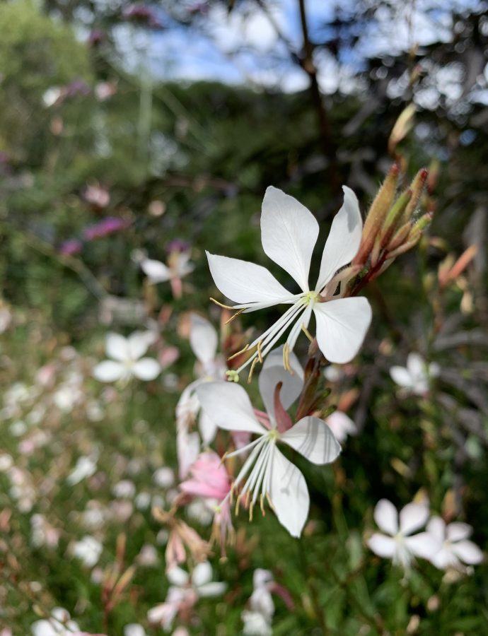 Growing Gaura from seed